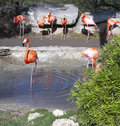 Flock of flamingos colorfull at a watering hole Stock Images