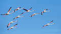 Flock of flamingos in flight Royalty Free Stock Photo