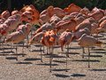 flock of flamingos rests on one leg Royalty Free Stock Photo