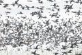 Flock of flying ducks Royalty Free Stock Photo