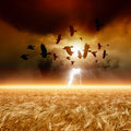 Flock of flying ravens, wheat field Royalty Free Stock Photo