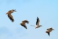 Flock of four pelicans great pelecanus onocrotalus frying over blue sky danube delta romania Stock Images