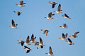 Flock of geese bean flying in a blue sky Royalty Free Stock Photo