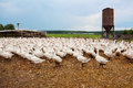 Flock of geese a big on a farm Royalty Free Stock Photo