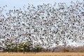 Flock of Geese flying Royalty Free Stock Photos