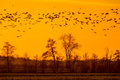 Flock of Geese looking for safe sleeping place Royalty Free Stock Photo