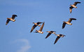 Flock of geese seven bean flying in a blue sky Royalty Free Stock Image