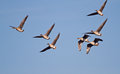 Flock of geese seven bean flying in a blue sky Stock Images