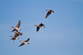Flock of geese seven bean flying in a blue sky Royalty Free Stock Images