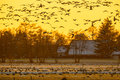 Flock of Geese at sunset looking for safe rust place Royalty Free Stock Photo