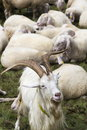 Flock of goats and sheep in Alps mountains Livigno, Italy Royalty Free Stock Photo