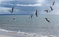 Flock of graceful white seagulls flying over the sea a at busselton western australia on a cloudy day in early winter are looking Stock Images