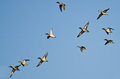 Flock of green winged teals flying in a blue sky Royalty Free Stock Photography