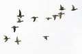 Flock of green winged teals on a white background Royalty Free Stock Image