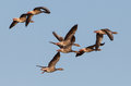 Flock of Greylag Geese Royalty Free Stock Photo