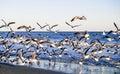 Flock of gulls along seaside Royalty Free Stock Image
