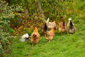 Flock of hens outdoor