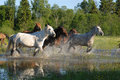 Flock of horses in splashes Stock Images