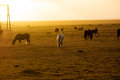 Flock of icelandic horses grasing in the sunset Royalty Free Stock Image
