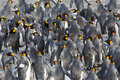 Flock of King penguins Royalty Free Stock Photo