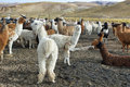 Flock of llamas in northern argentina llama is a south american camelid which live the high alpine areas the andes Royalty Free Stock Images