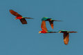 Flock of macaws flying in the peruvian amazon jungle at madre de dios peru Royalty Free Stock Photography
