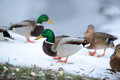 Flock of Mallard Ducks in Winter Royalty Free Stock Photos