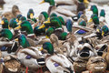 Flock of mallards on an icy river in lithuania Stock Images