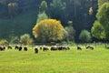Flock of merino sheep pasture at autumn in transylvania Royalty Free Stock Images