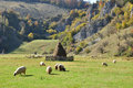 Flock of merino sheep pasture at autumn in transylvania Stock Photography