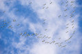 Flock of migrating American White Pelicans in the sky Royalty Free Stock Photo