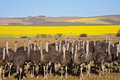 Flock of ostriches with yellow rapeseed fields in background overberg south africa Stock Images