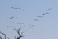 Flock of pelicans flying in chobe national park botswana Stock Photography
