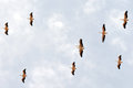 A flock of pelicans migrate from Europe to Africa Royalty Free Stock Images