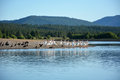 Flock of the pelicans on river coast Stock Photo