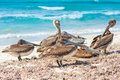 Flock of pelicans on a sandy beach resting Stock Photo