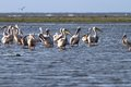 Flock of pelicans standing in shallow water great white pelecanus onocrotalus the waters at meleaua danube delta Stock Photography