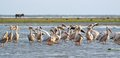 Flock of pelicans standing in the water great pelecanus onocrotalus at meleaua danube delta romania Stock Photo