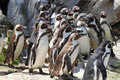 Flock of penguins Stock Photography
