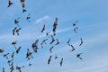 Flock of pigeons are flying Royalty Free Stock Photo