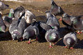 Flock of pigeons on ground Stock Images