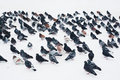Flock of pigeons in winter sitting on snow Stock Photography