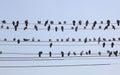 Flock of pigeons on wires. Yangon. Myanmar. Royalty Free Stock Images