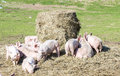 Flock of pigs in a bio farm usedom Stock Image