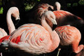 Flock of pink flamingos Stock Images