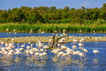 Flock of pink flamingos in Camargue national park Royalty Free Stock Photo