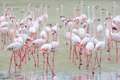 Flock of pink flamingos on the sand. Royalty Free Stock Photo