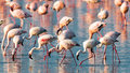 A flock of pink flamingos walk on water Royalty Free Stock Photos