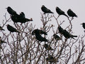 A flock of ravens on a tree Stock Photo