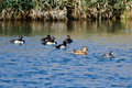 Flock of Ring-Necked Ducks Resting on the Blue Water Royalty Free Stock Photo